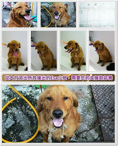 「需要支援助認養」桃園救援被白目鄉民丟棄在大竹派出所的黃金獵犬Esa小姐,需要您的醫療支援助認養,另黑拉拉已被認養,20100613