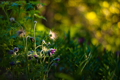 Pasque-flower in evening light (Kelly Sereda) Tags: light plant flower calgary zeiss garden season spring bokeh f14 sony low illumination 85mm contax alberta late pasque rubra planar pulsatilla a900 readersrockgarden kellysereda