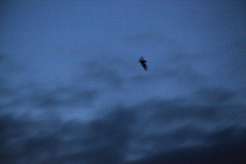 Bat above my back garden