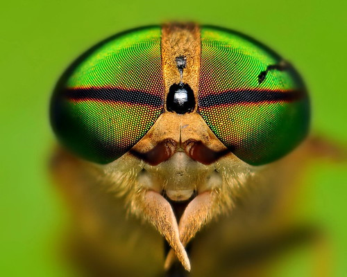 Horse fly - Portrait