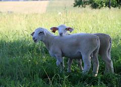 Nice pasture lambs