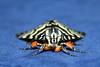 Noctuidae>Comocrus behrii Mistletoe Moth IMG8697 (Bill & Mark Bell) Tags: insect australia lepidoptera noctuidae westernaustralia animalia arthropoda exmouth insecta behrii taxonomy:class=insecta taxonomy:order=lepidoptera taxonomy:kingdom=animalia taxonomy:phylum=arthropoda taxonomy:family=noctuidae geo:country=australia mistletoemoth comocrus geo:state=westernaustralia geo:town=exmouth geo:lon=11425453egeolat2217752sgeoalt8m taxonomy:genus=comocrus taxonomycommonnamemistletoemoth taxonomybinomialnamecomocrusbehrii comocrusbehrii 11425453e2217752salt8m