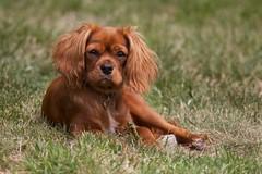 Lola (Phil Stronge) Tags: dog pet puppy king lola charles spaniel cavalier