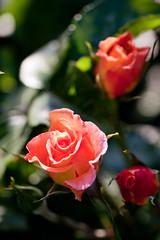 Rose, Mona Lisa (nekonomania) Tags: pink rose multicolor バラ lightorange kyotobotanicalgarden 京都府立植物園