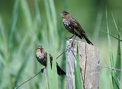 You Watch Right, I'll Watch Left (makeupanid) Tags: green birds fence highpark bokeh watching lookout grasses birdwatcher redwingedblackbirds agelaiusphoeniceus grenadierpond avianexcellence