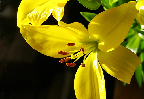 li li li lilies
