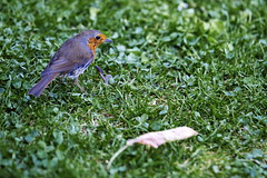 The not so early bird catches the worm (turgidson) Tags: world street ireland dublin macro bird robin canon studio square lens eos championship raw erithacusrubecula erithacus zoom performance full telephoto developer sp ii frame di if pro 5d worm fullframe dslr performers tamron 70200 f28 mk ld 2010 converter markii merrionsquare merrion rubecula silkypix 50club tamronspaf70200mmf28dildifmacro canoneos5dmarkii 41300 af70200mm canoneos5dmkii silkypixdeveloperstudiopro41300 streetperformanceworldchampionship2010 img6201k
