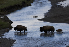 Bison cows and calves crossing the Lamar River