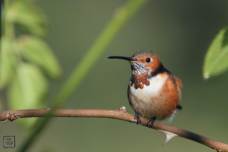 Allen's Hummingbird 10101-11