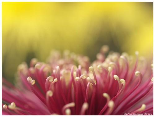 Chrysanthemums-2