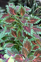 Coleus 'Radical Wonder'