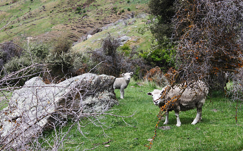 Sheep on Mt. Roy, day 11