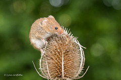 As high as I can go 500_0161.jpg (Mobile Lynn) Tags: nature rodents harvestmouse captive fauna mammal mammals rodent rodentia wildlife greensnorton england unitedkingdom gb coth specanimal coth5 ngc sunrays5 specanimalphotooftheday npc