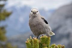 Staring contest (naromeel) Tags: banff canada nature birds animal