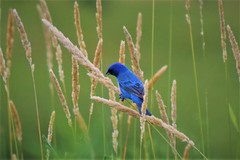 Searching for seeds (marensr) Tags: indigo bunting nature bird morton arboretum grasses seeds passerina cyanea