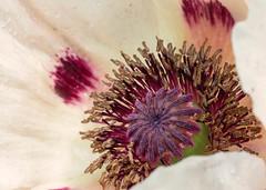 Poppy (mclcbooks) Tags: flower flowers floral macro closeup poppy poppies spring denver colorado