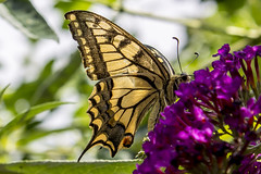 butterfly (Bánhidai Bea) Tags: butterfly flower flowers canon canon1100d nature n