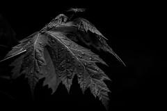 Darkness, and rain.... (tomk630) Tags: nature virginia darkness waiting rain leaf drops
