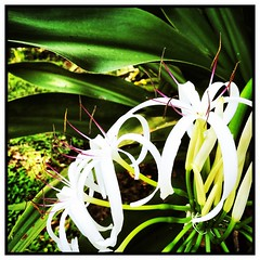 The lilies.  #florida #family #holiday #iphone #iPhone365 #iPhoneography #iPhone7plus #iPhonemacro #macro  #flower #flowersofinstagram (Kindle Girl) Tags: iphone7plus florida family holiday iphone iphone365 iphoneography iphonemacro macro flower flowersofinstagram