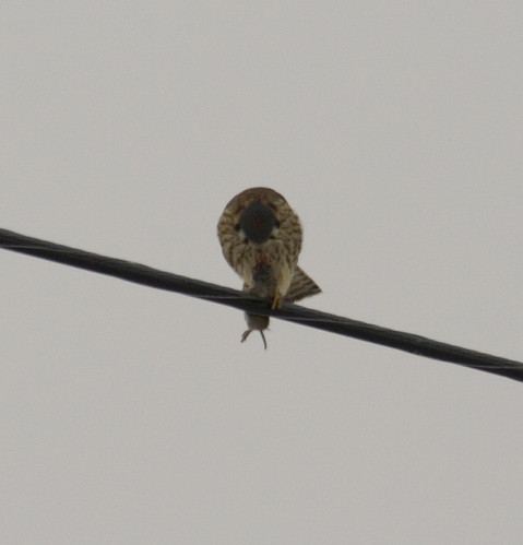 american kestrel with rodent_8