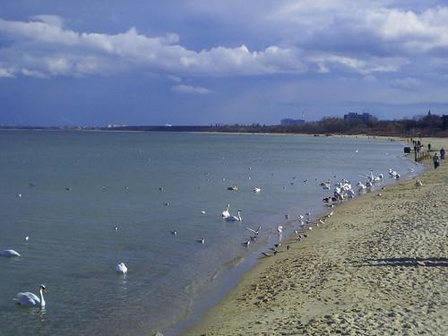 Cisnes en el Mar Báltico