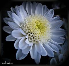 Una flor para empezar el ao (celicom) Tags: naturaleza macro flor blanca dalia natureselegantshots mimamorflowers