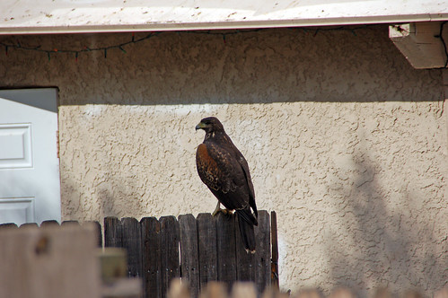 harris hawk yard