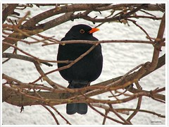 Amselman Kurti - Blackbird Kurti