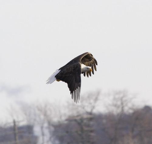 bald eagle_8