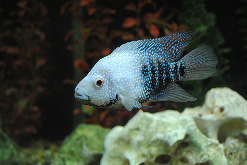 Rio Grande Cichlid, Young animal
