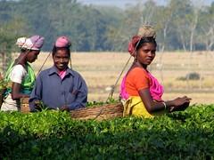 Tea pickers at work (Linda DV (away for the WE)) Tags: people woman india canon geotagged tea fields assam 2008 sevensisters teafields 7sisters northeastindia teapicking powershots5is lindadevolder