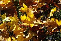 Lapai (Zitute) Tags: ruduo gamta medžiai gėlės lapai
