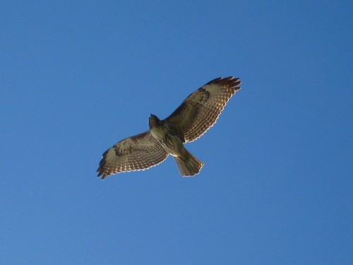 point dume hawk