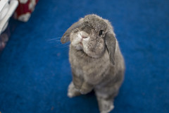 Hope (jade_c) Tags: pet rabbit bunny animal mammal singapore opal periscope  hollandlop andora   lagomorph opalhollandlop