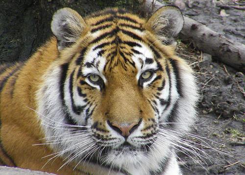 Amur Tiger - Judge