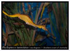 Phyllopteryx taeniolatus _800_01 (Bruno Cortada) Tags: malawi marino mbunas cclidos sudafricanos tanganyica