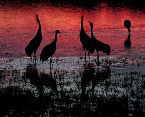 [フリー画像] 動物, 鳥類, ツル科, 夕日・夕焼け・日没, シルエット, 201012211900