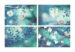 A Rainy afternoon (Morphicx) Tags: blue blur dutch rain droplets drops dof bokeh drop droplet 5d hydrangea hydrangeapetiolaris 2470f28l bokehwhores bokehwhore