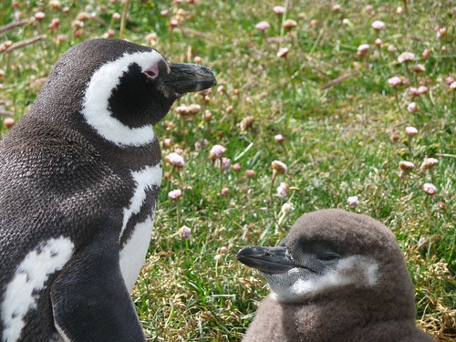 [Two penguins; adult and young.]