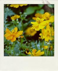 Cosmos bipinnatus (ddsnet) Tags: flower     cosmosbipinnatus  poladroid flickrdiamond   cosmos bipinnatus