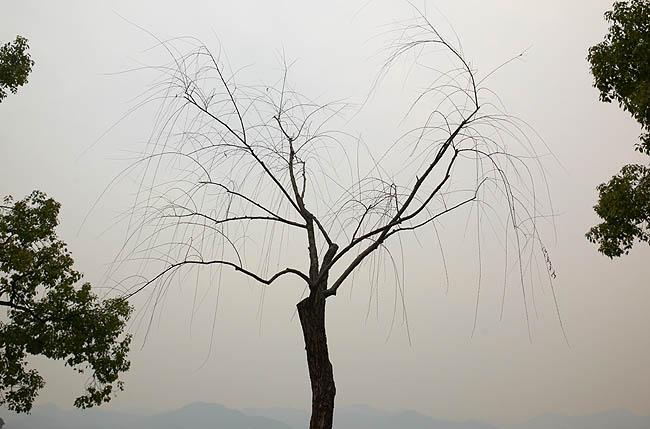 西湖樹02