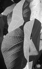 Macaranga tanarius (YAZMDG (15,000 images)) Tags: trees bw plant black nature leaves sepia forest dark studio lowlight noir gloomy y noiretblanc australia tint nb sombre nsw ambient shrub blackout yaz obscure obscur melancholic absence shadowy greytones melancholie lacunae goonengerry lacune nswrfp yazminamicheledegaye northernriversspecies yazmdg obscuritee