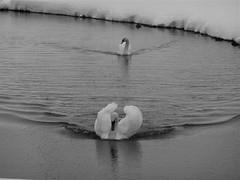 swans (James Woe) Tags: view plain gizzards jameswoe