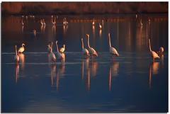 8:47 a.m. : Reunion (Nespyxel) Tags: morning light sea birds animals reflections mare flamingos uccelli riflessi saline animali cagliari mattina reflexes fenicotteri quartu nespyxel stefanoscarselli pleasedontusethisimageonwebsites blogsorothermediawithoutmyexplicitpermissionallrightsreserved