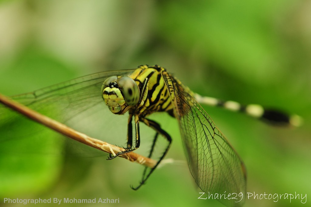 Pepatung Hijau/ Green Dragon Fly