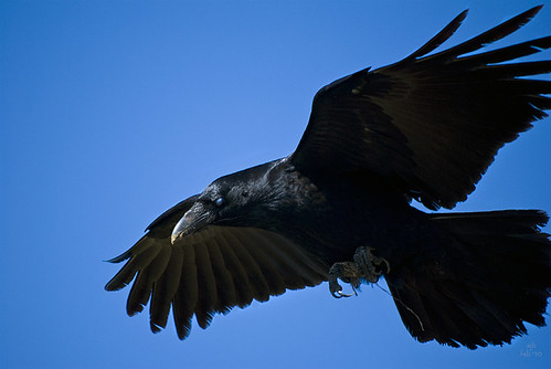 ... a raven hovering just overhead! (3 of 3) (11 Feb 10)