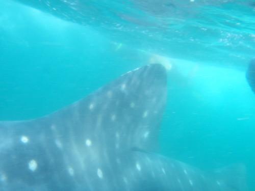 Whale Shark Fin