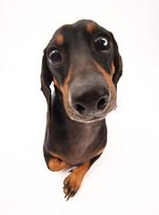 [フリー画像] [動物写真] [哺乳類] [イヌ科] [犬/イヌ] [ミニチュアダックスフンド]      [フリー素材]