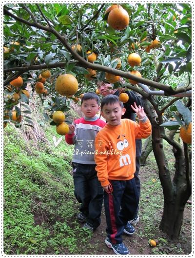 關西採草莓橘子牛欄河2010.02.20-31