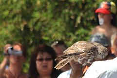 Barking Owl (russellstreet) Tags: bird au sydney australia newsouthwales tarongazoo barkingowl ninoxconnivens